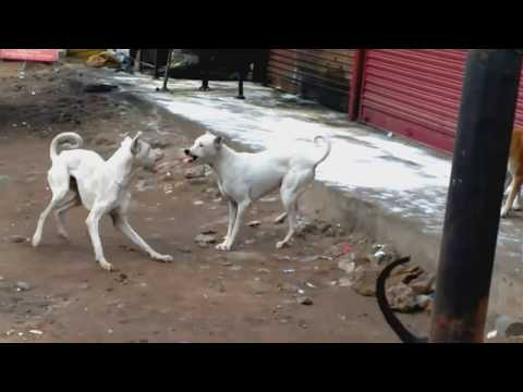 Rajapalayam dog aggressive to suppress Street dogs