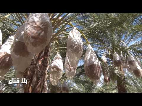 bila kinaa دقلة النور في تونس في يد من ؟؟؟