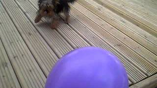Teacup Yorkie..scared Of Balloon