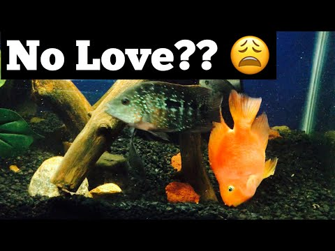 Blood Parrot Fish Breeding With Texas Cichlid