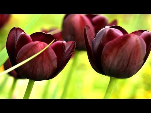 Вопрос: Почему в Турции тюльпан является священным цветком?