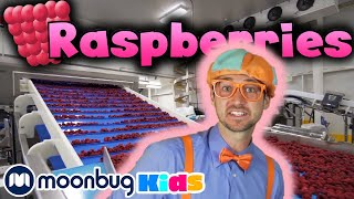 BLIPPI - Visits a Raspberry Factory | Learn | ABC 123 Moonbug Kids | Fun Cartoons | Learning Rhymes