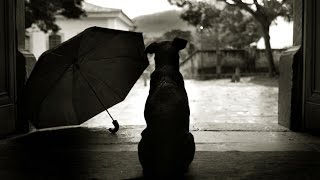 Cane Corso Derrek and umbrella, Кане Корсо Деррек и зонт