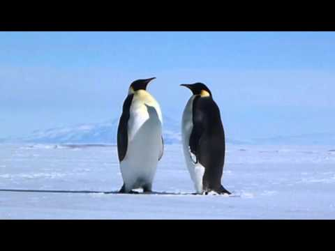 Emperor Penguins Are Wonderful - Antarctic Mountains as Scenery [animals in HD]