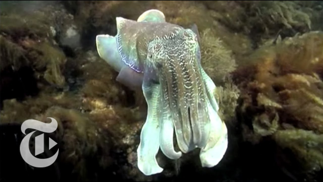 Cuttlefish Camouflage | The New York Times