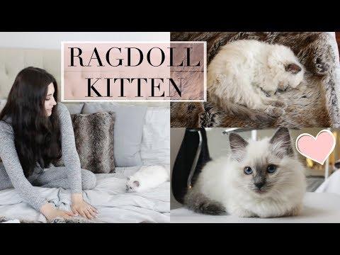 Meet Daisy | My New Ragdoll Kitten