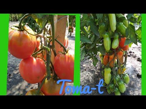 20 лучших сортов томатов!