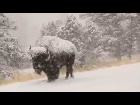 Image result for buffalo in snow