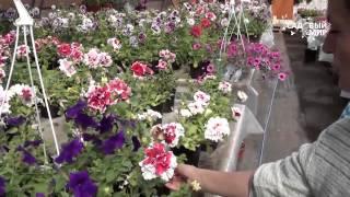 видео Способы выращивания петунии в домашних условиях, разновидности цветка