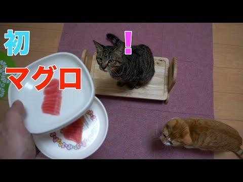 子猫、初めての「マグロ」(20180102)【すず/コテツ】