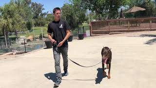 How to give a proper leash correction in order to transition to off leash control