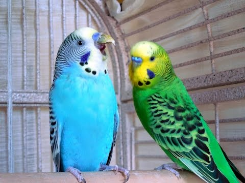 3 Hours Budgies Parakeets Birds Singing, Chirping Reduce stress blood pressure