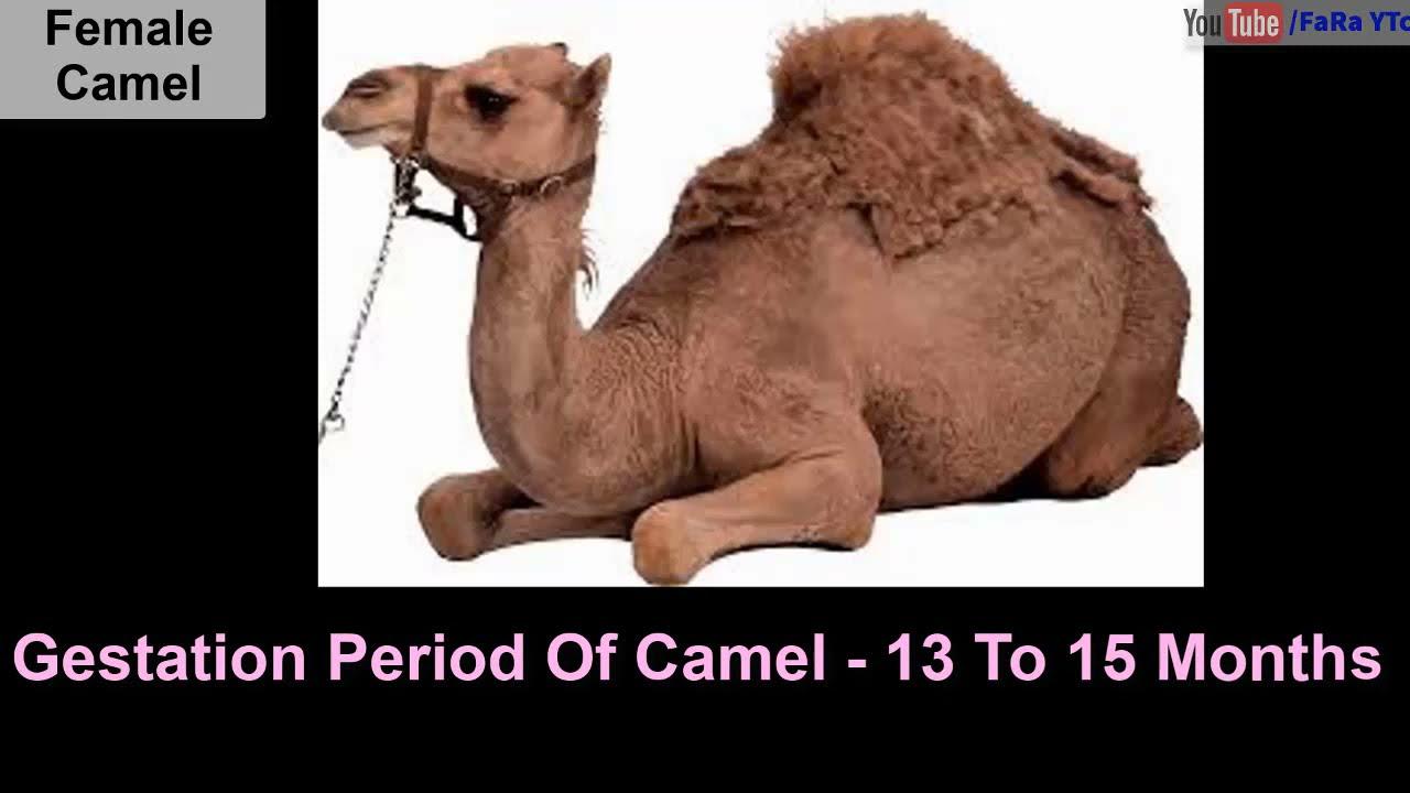 Pregnancy or Gestation Period of 10 Animals or Mammals ...