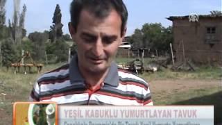 YEŞİL KABUKLU YUMURTLAYAN TAVUK 17.05.2012