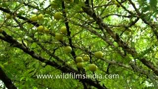 Indian Gooseberry growing wild in the forests of Uttar Pradesh