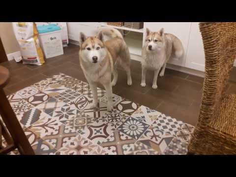 Сибирские хаски просят кушать. Звук! Щенки хаски онлайн. Husky puppy online. Все будет Хаски!