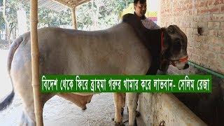বিদেশ থেকে ফিরে ব্রাহমা গরুর খামার করে লাভবান- সেলিম রেজা, Cow Fattening Farm