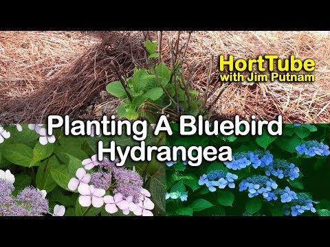 Planting a Hydrangea serrata 'Blue Bird' - Mountain Hydrangea