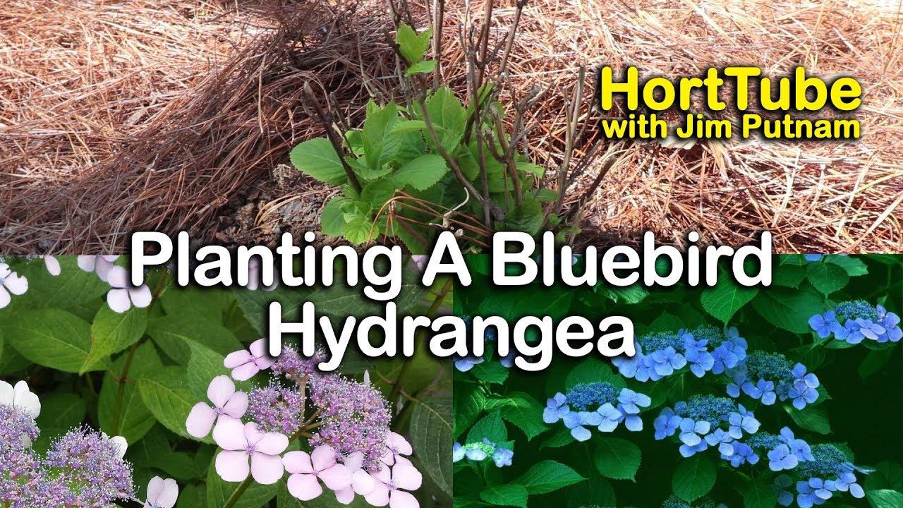Planting A Hydrangea Serrata Blue Bird Mountain