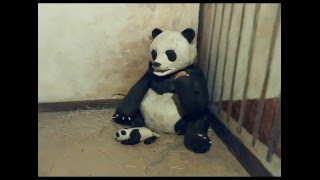 Sneezing Baby Panda CLAYMATION