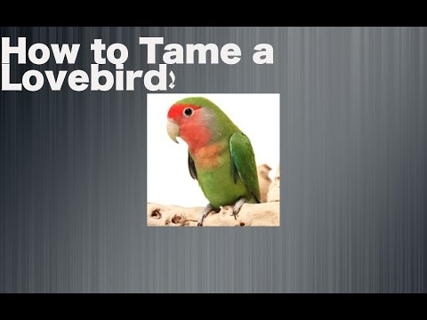 Tutorials - HOW TO TAME A LOVEBIRD!!