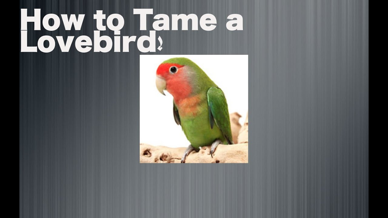 how to train your lovebird