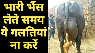 How Select heavy milker Buffalo|dudharu bhains ki pehchan|दुधारू पशु की पहचान|Dairy Farming