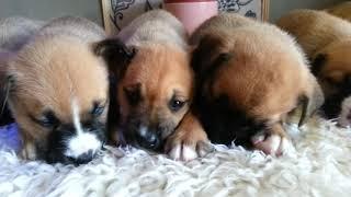Siberian Husky Cross Boxer Puppies 7 Weeks Old