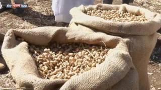 السودان.. تطوير إنتاج الحبوب الزيتية