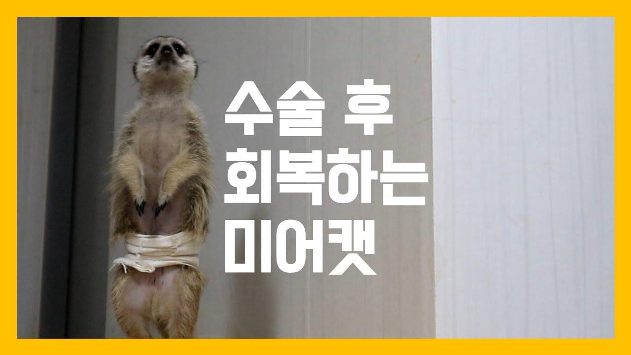 수술 후 회복하는 미어캣 [냥이아빠]