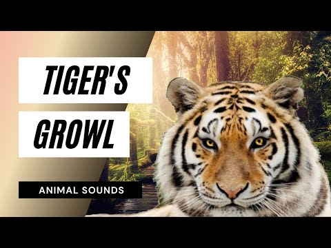 The Animal Sounds: Tiger Growl -Sound Effect - Animation