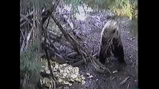 Bear. Can a 12 Gauge Knock a Bear Off His Feet ?