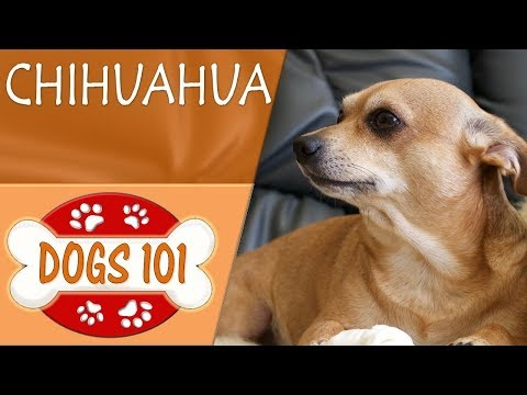 Dogs 101 - CHIHUAHUA - Top Dog Facts About the CHIHUAHUA