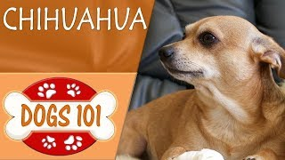 Dogs 101  CHIHUAHUA  Top Dog Facts About the CHIHUAHUA