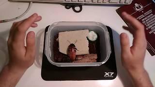 видео Мадагаскарские шипящие тараканы: содержание и уход, размножение