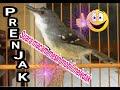 Burung Cimblek Gacor Suara Unik Prenjak  Mp3 - Mp4 Download