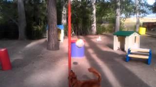 Golden Retriever Tetherball