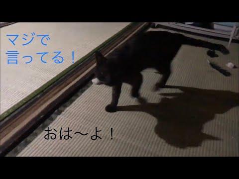 しゃべる黒猫、挨拶編…おは〜よ!朝の挨拶が出来てる黒猫