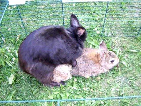 kaniner der parrer sig
