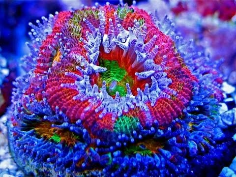 Acan Coral Feeding Youtube