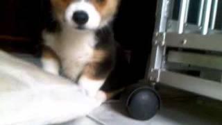 Miko - Pembroke Welsh Corgi Puppy