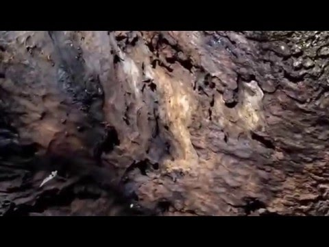 Carpenter Ant Colony Exposed - winged Queens and Workers