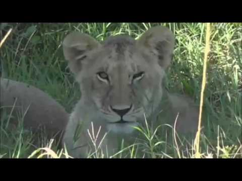 Safari Live : Brent in the Masai Mara with the Sausage Pride of Lions May 31, 2017