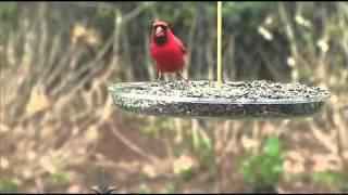 Droll Yankees - Dorothy's Cardinal Feeder 2