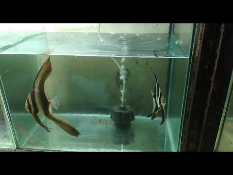 Marine Bat Fish 9768426748