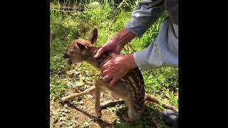 鹿の害に日頃泣いてる我が家です。 でも害獣ネットにからまり、ウチの ニャンに首を押さえつけられてる子鹿を見たら、レスキューに走らざるを...