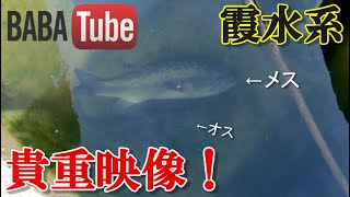 BABATube 【霞水系】バスの産卵(40cm)