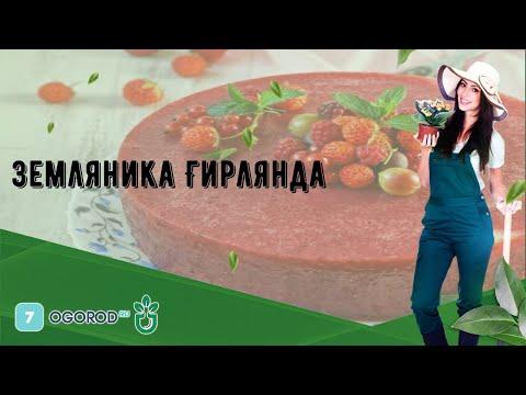 Земляника Гирлянда