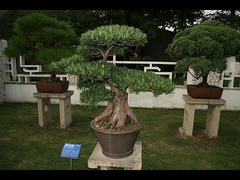 Specific Bonsai Care Guidelines For The Podocarpus Youtube