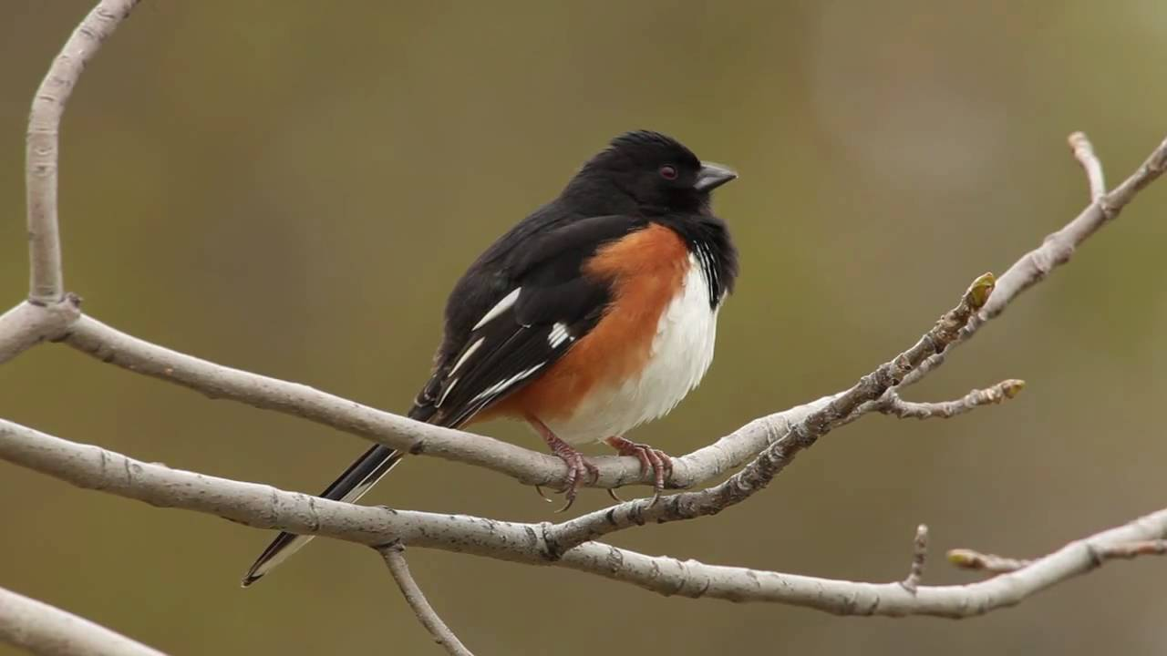 Variation In Birds Eastern Towhee - YouTu...